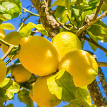 Zitronen_S