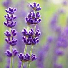 Beautiful Lavender flowers with copy space