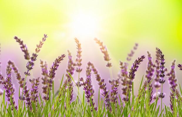 Panorama Lavendel AdobeStock_273353309 - Kopie